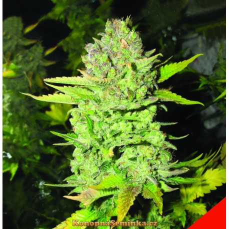 MedicalSeeds DEVIL FRUIT