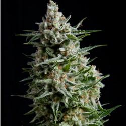 Pyramid Seeds Fem. ANESTHESIA