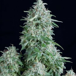Pyramid Seeds Fem. ANUBIS