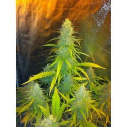 CBD Seeds Fem. MEXICAN HAZE