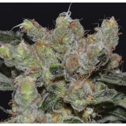 CBD Seeds Medical ZEN